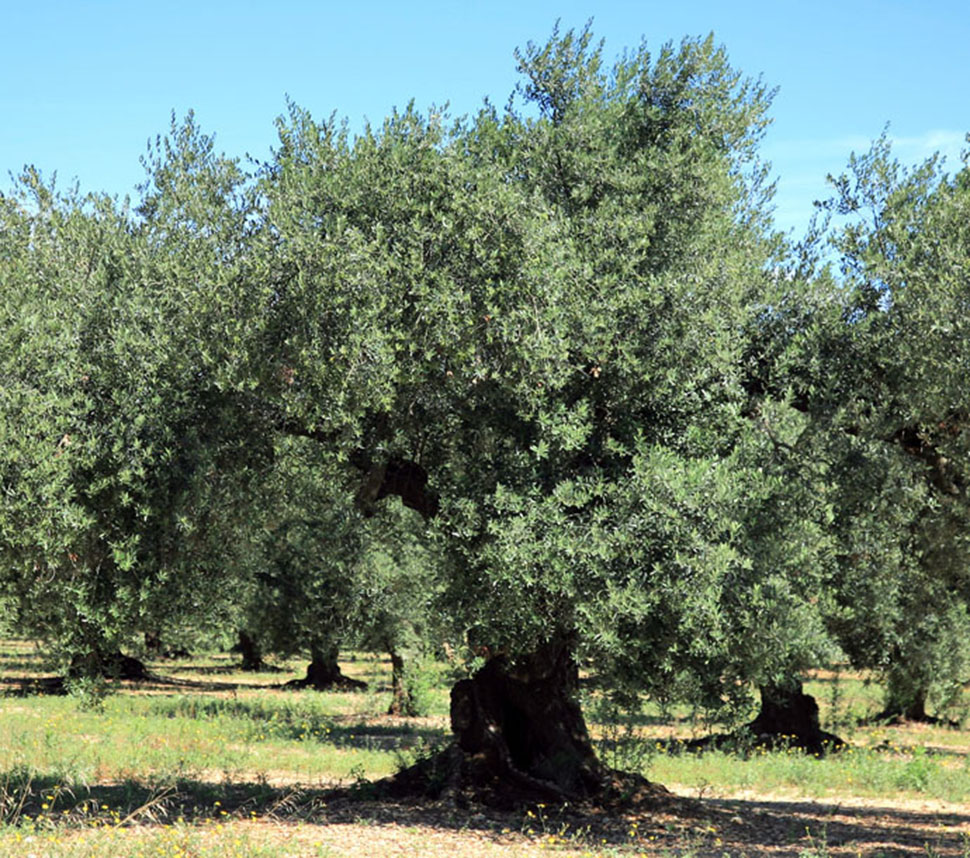 From our olive groves